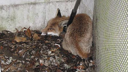 Fuchs im Lichtschacht gefangen