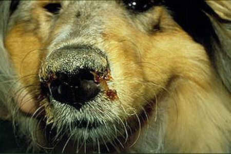 An Staupe erkrankter Hund