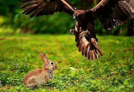 Auch Greifvögel können für Kaninchen gefährlich werden.