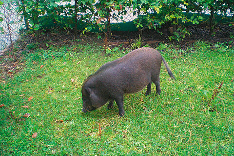 Schweinischer Einsatz in München