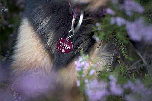 Rote TASSO-Plakette am Hunde-Halsband.