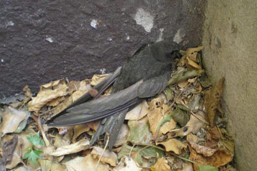 Mauersegler unter Kellerfenstergitter gefangen