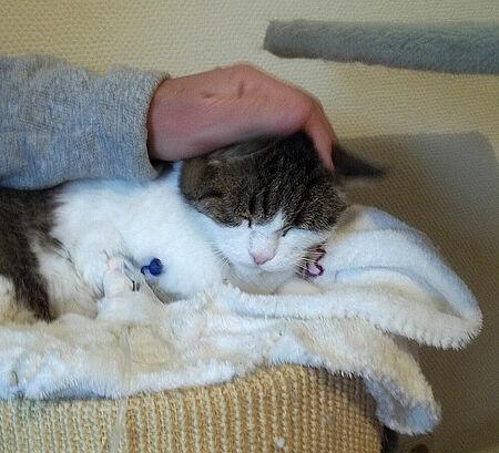 Katze Istra