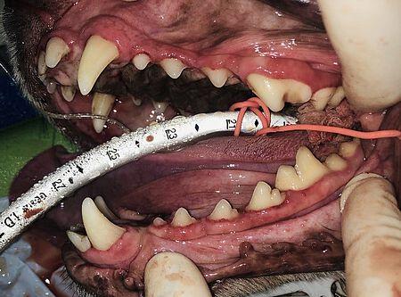 Hundezähne nach einer professionellen Zahnreinigung.