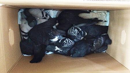 Vergiftete Tauben